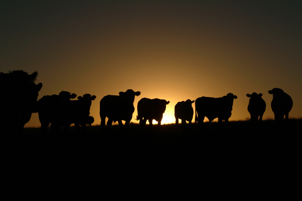 cattle sunset001